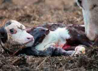 Manejo del Parto en la Vaca y del Ternero Recién Nacido
