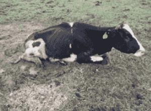 Vaca con cojera crónica