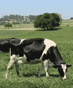 Estrategias nutricionales para alimentar mis vacas en lactancia en Primavera