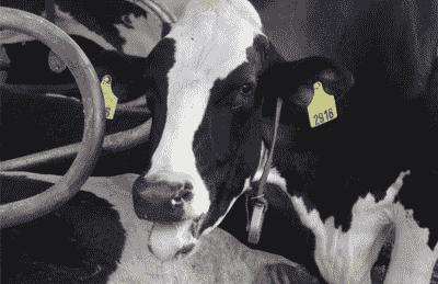 Vaca jadeando